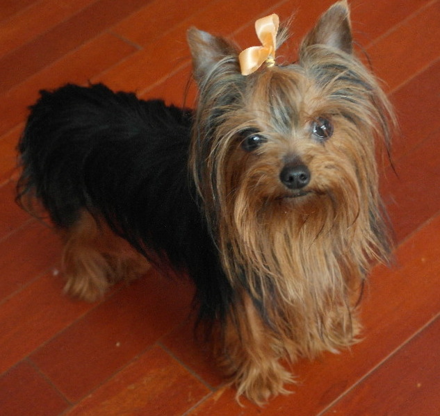 yorkie adult yorkie adults welcome to chumaly maltese yorkies 7096